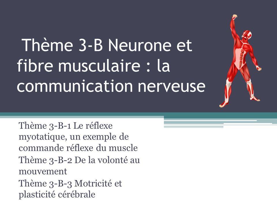 Thème 3-B Neurone et fibre musculaire : la communication nerveuse Thème 3-B-1 Le réflexe myotatique, un exemple de commande réflexe du muscle Thème 3-B-2 De la volonté au mouvement Thème 3-B-3 Motricité et plasticité cérébrale