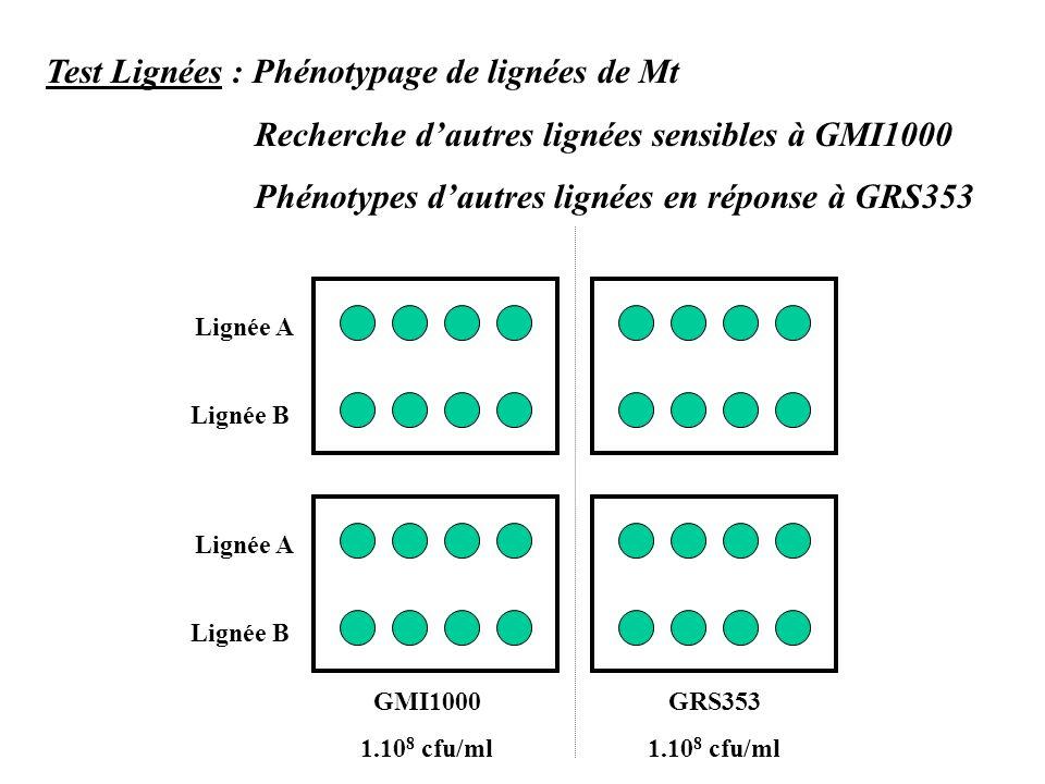 Lignée A Lignée B Lignée A Lignée B GMI1000 1.10 8 cfu/ml GRS353 1.10 8 cfu/ml Test Lignées : Phénotypage de lignées de Mt Recherche dautres lignées sensibles à GMI1000 Phénotypes dautres lignées en réponse à GRS353