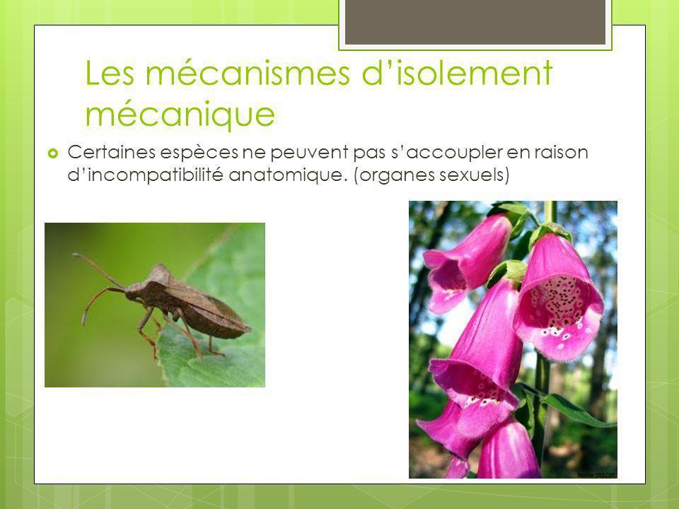 Les mécanismes disolement mécanique Certaines espèces ne peuvent pas saccoupler en raison dincompatibilité anatomique. (organes sexuels)