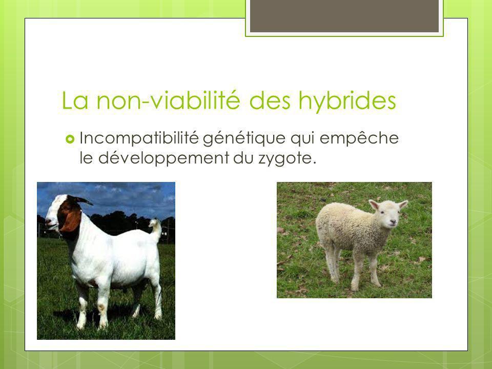 La non-viabilité des hybrides Incompatibilité génétique qui empêche le développement du zygote.