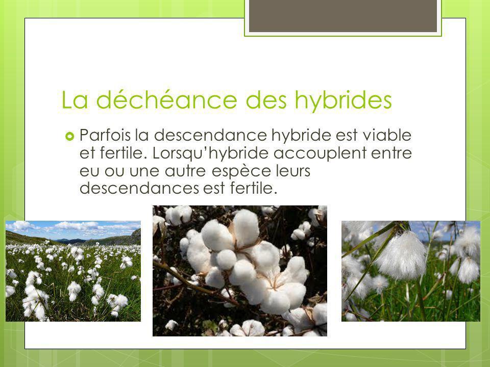 La déchéance des hybrides Parfois la descendance hybride est viable et fertile. Lorsquhybride accouplent entre eu ou une autre espèce leurs descendanc