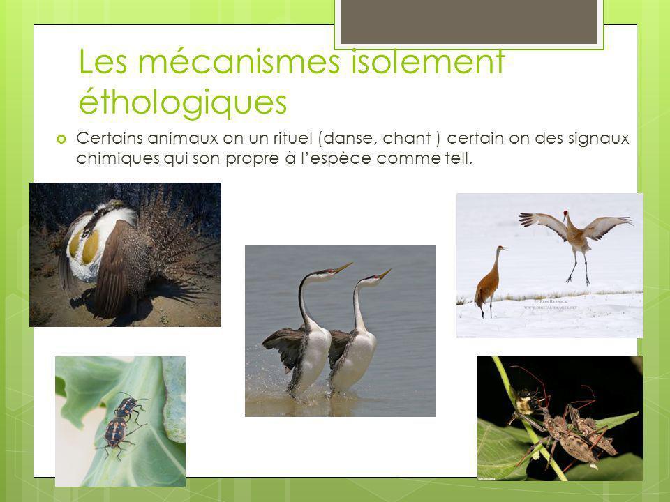 Les mécanismes isolement éthologiques Certains animaux on un rituel (danse, chant ) certain on des signaux chimiques qui son propre à lespèce comme te