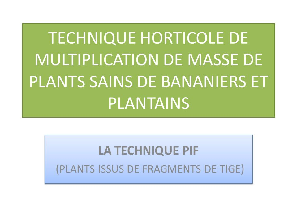 TECHNIQUE HORTICOLE DE MULTIPLICATION DE MASSE DE PLANTS SAINS DE BANANIERS ET PLANTAINS LA TECHNIQUE PIF ( PLANTS ISSUS DE FRAGMENTS DE TIGE ) LA TECHNIQUE PIF ( PLANTS ISSUS DE FRAGMENTS DE TIGE )