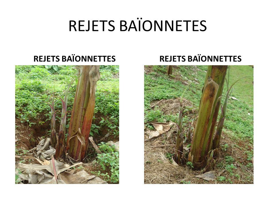 I- DIFFERENTS TYPES DE REJETS Les rejets émergent, initialement sous forme de bourgeons renflés, des méristèmes latéraux situés à la base des feuilles