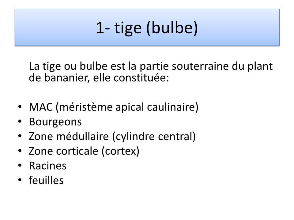II- ORGANISATION DUN REJET 1- tige (bulbe) 2- pseudo tige (pseudo tronc) 3- position des bourgeons 4- dominance apicale 5- intégrité des bourgeons 6-