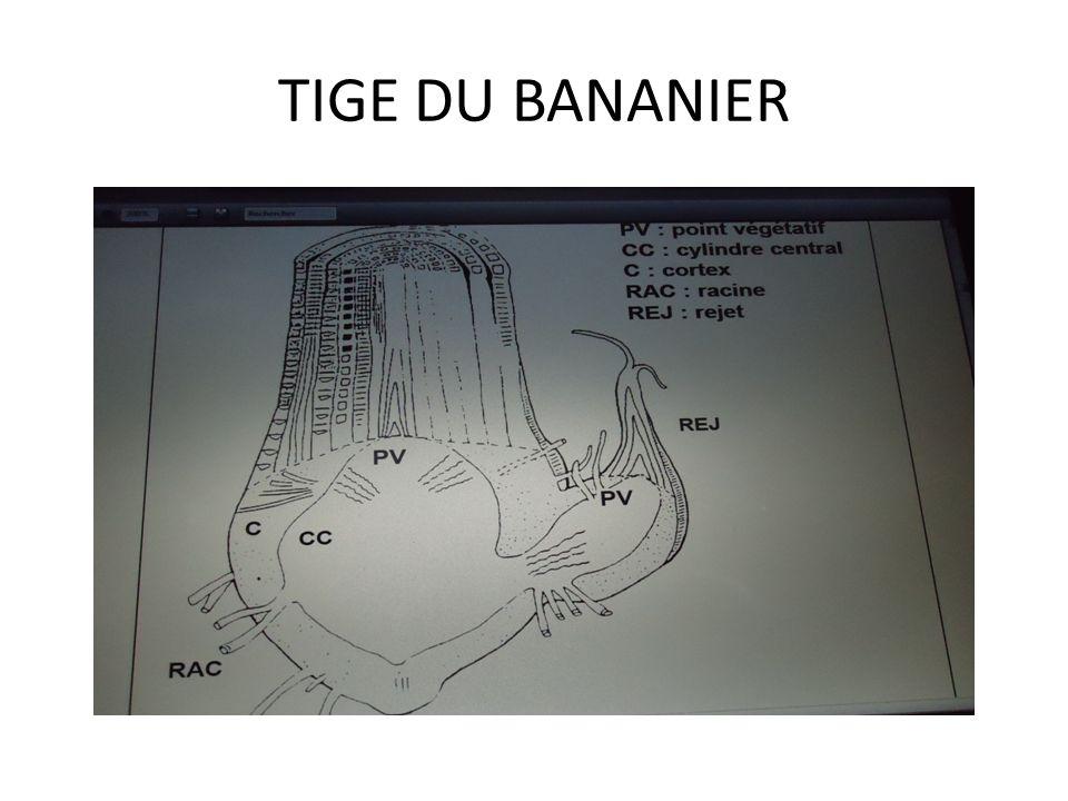 1- tige (bulbe) La tige ou bulbe est la partie souterraine du plant de bananier, elle constituée: MAC (méristème apical caulinaire) Bourgeons Zone méd