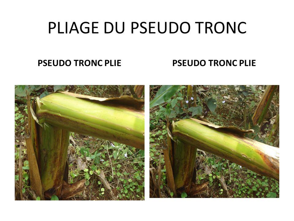 FAUSSE DECAPITATION ENTAILLE DU PSEUDO TRONC