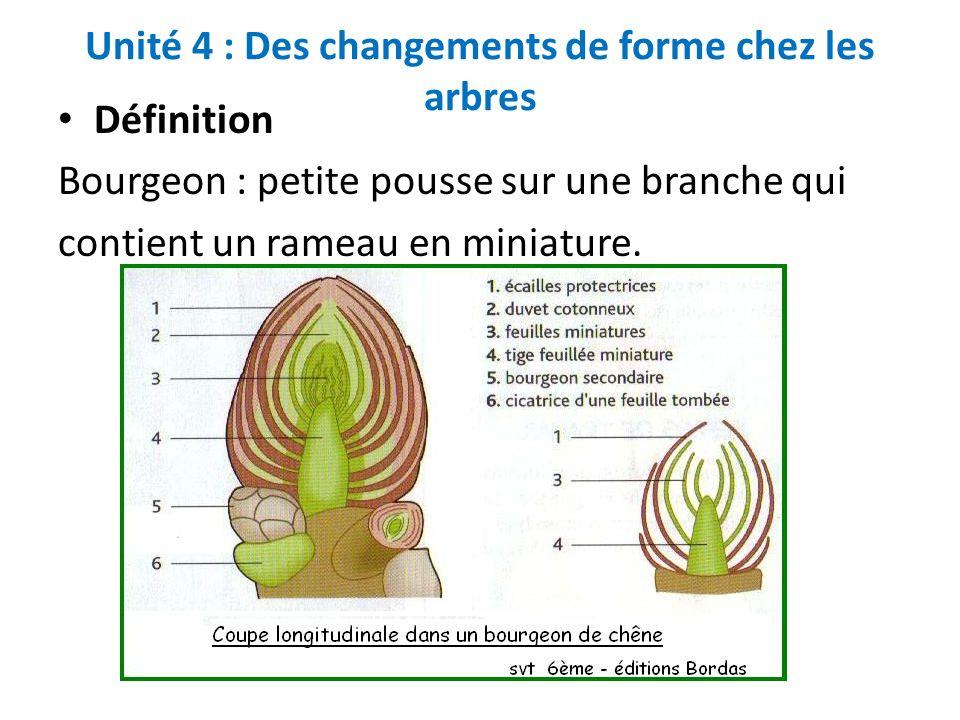 Unité 4 : Des changements de forme chez les arbres Définition Bourgeon : petite pousse sur une branche qui contient un rameau en miniature.