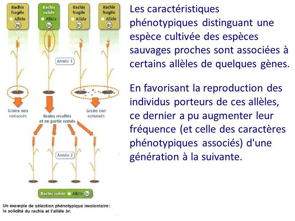 Les caractéristiques phénotypiques distinguant une espèce cultivée des espèces sauvages proches sont associées à certains allèles de quelques gènes.