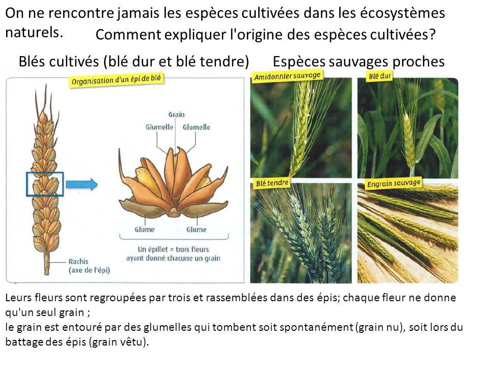 Blés cultivés (blé dur et blé tendre) On ne rencontre jamais les espèces cultivées dans les écosystèmes naturels.
