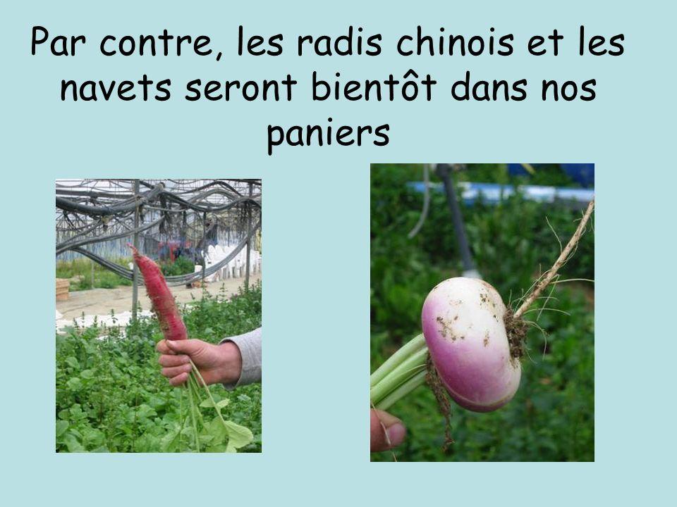 Par contre, les radis chinois et les navets seront bientôt dans nos paniers