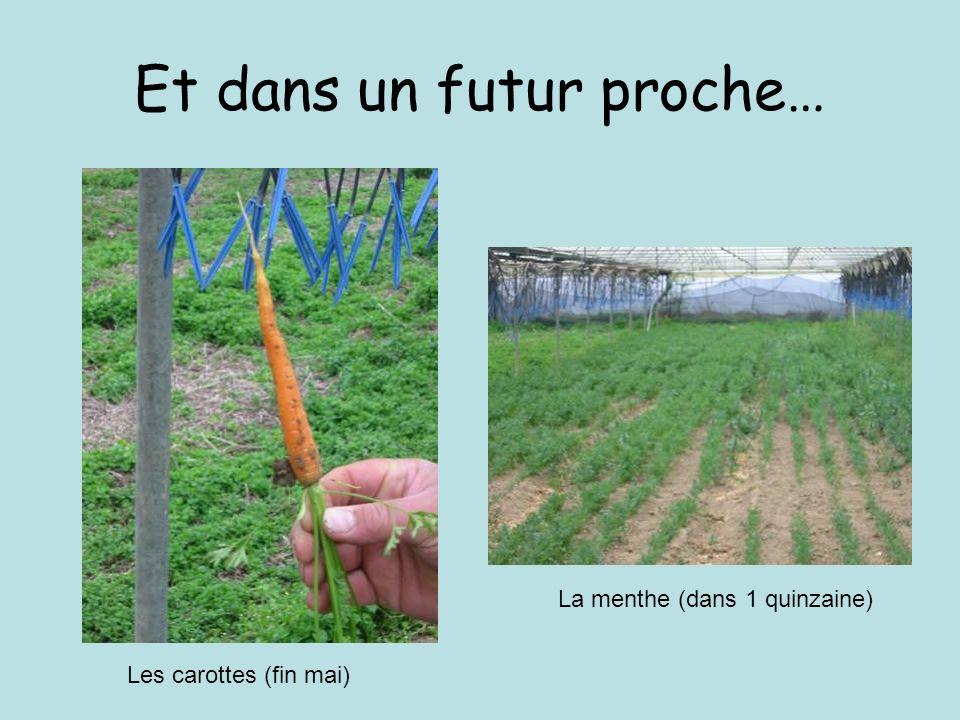 Et dans un futur proche… Les carottes (fin mai) La menthe (dans 1 quinzaine)