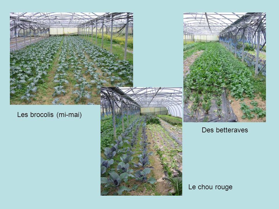 Le chou rouge Les brocolis (mi-mai) Des betteraves