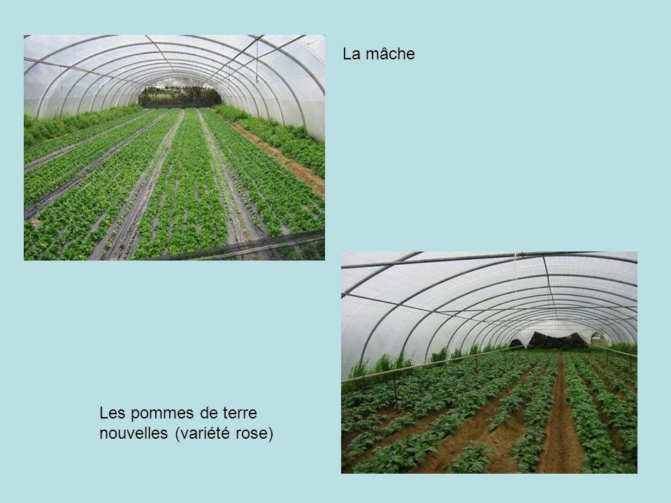 La mâche Les pommes de terre nouvelles (variété rose)