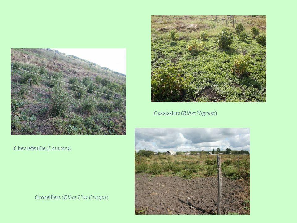 Chèvrefeuille (Lonicera) Cassissiers (Ribes Nigrum) Groseillers (Ribes Uva Cruspa)