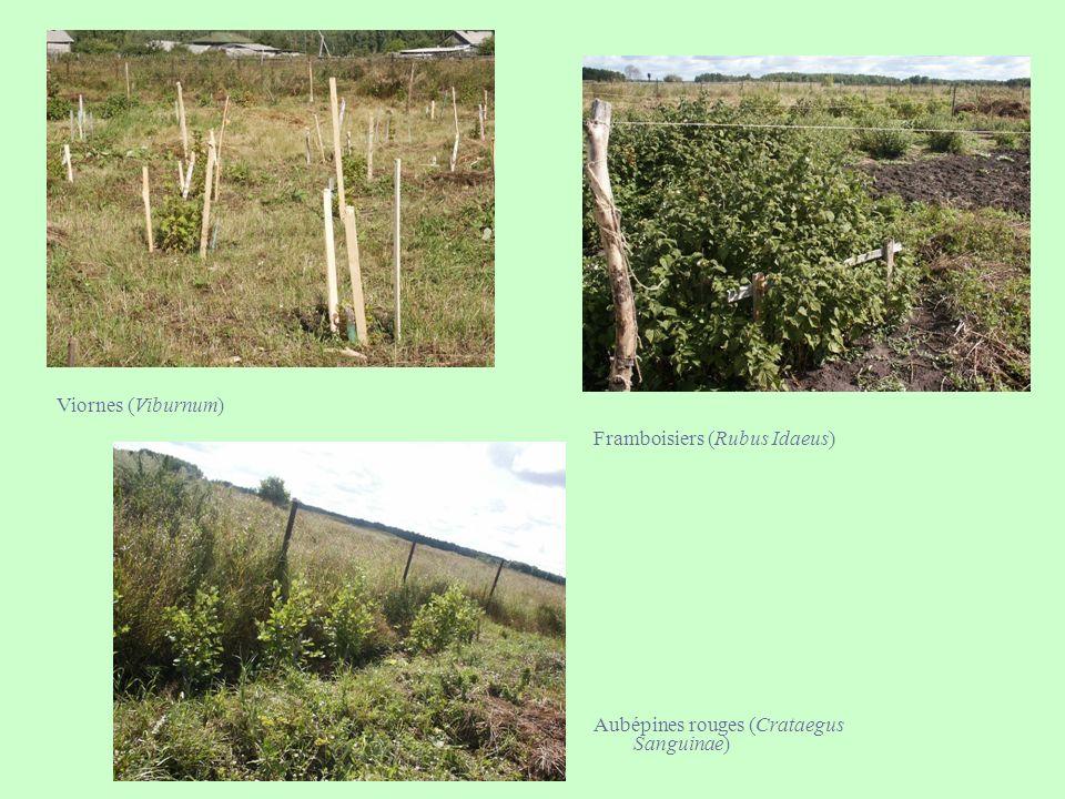 Aubépines rouges (Crataegus Sanguinae) Framboisiers (Rubus Idaeus) Viornes (Viburnum)