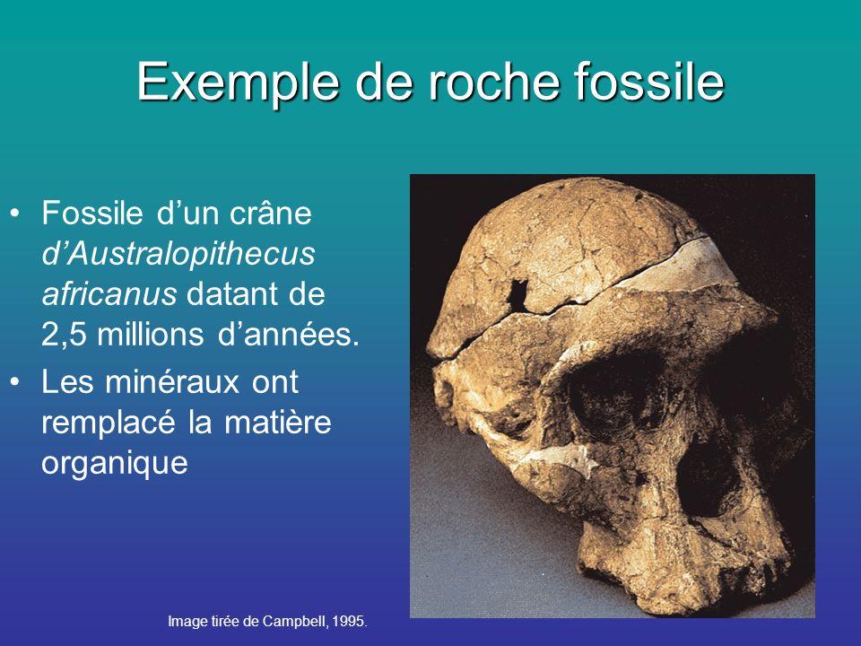 Exemple de roche fossile Fossile dun crâne dAustralopithecus africanus datant de 2,5 millions dannées.