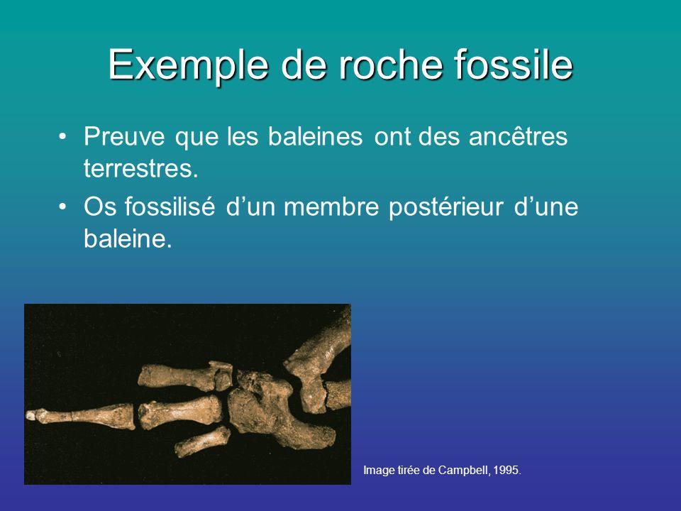 Exemple de roche fossile Preuve que les baleines ont des ancêtres terrestres.