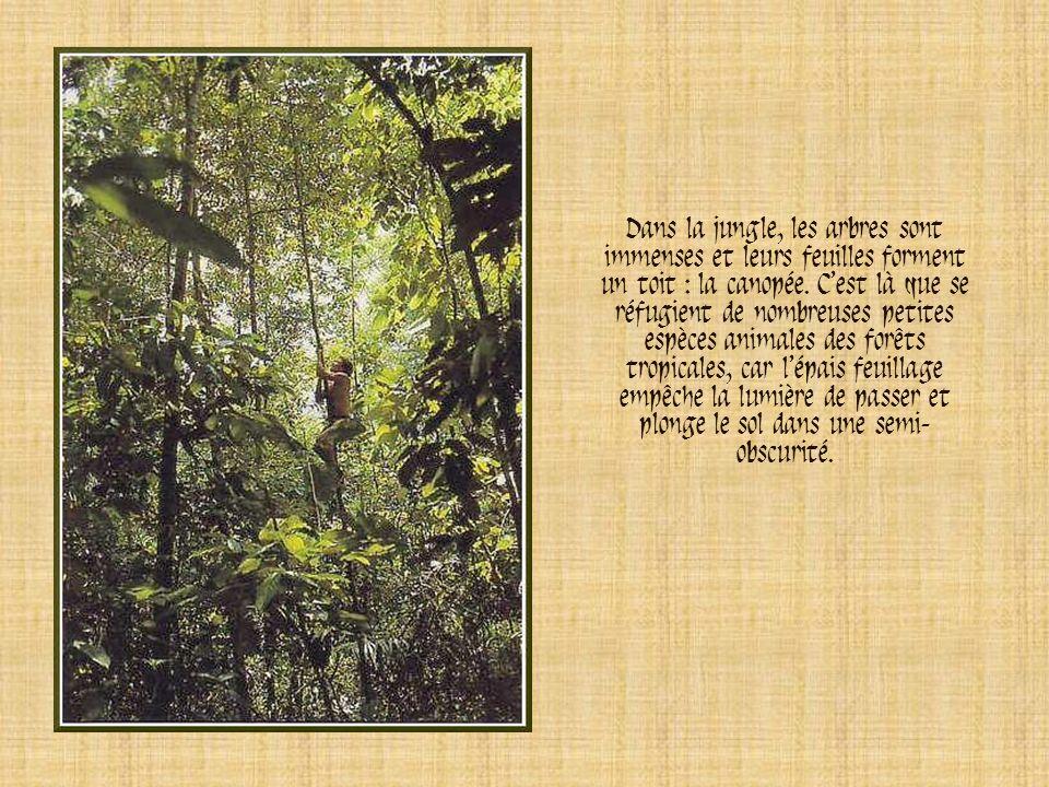Dans la jungle, les arbres sont immenses et leurs feuilles forment un toit : la canopée.