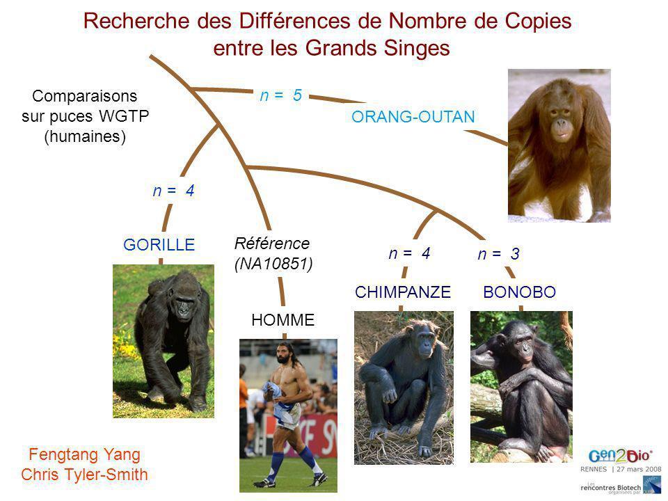 GORILLE HOMME CHIMPANZEBONOBO ORANG-OUTAN Recherche des Différences de Nombre de Copies entre les Grands Singes Référence (NA10851) n = 3 n = 4 n = 5
