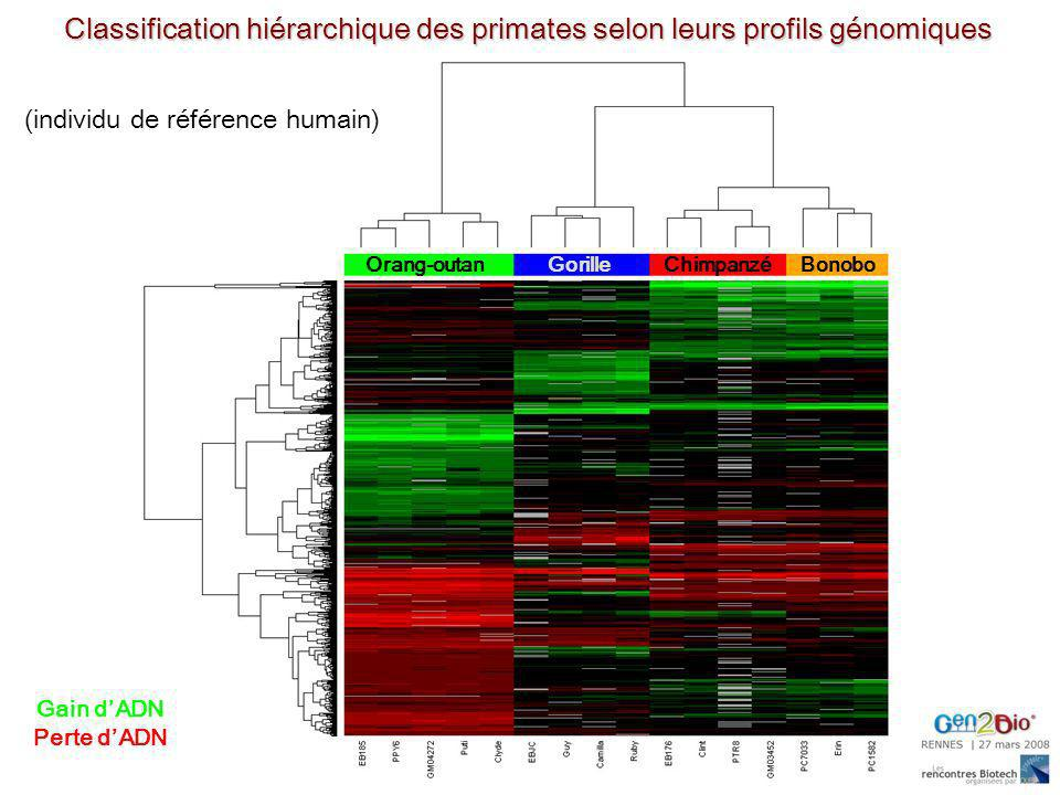 Orang-outanGorilleChimpanzéBonobo Classification hiérarchique des primates selon leurs profils génomiques (individu de référence humain) Gain dADN Per