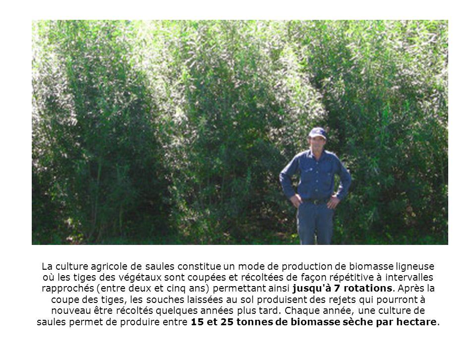 La culture agricole de saules constitue un mode de production de biomasse ligneuse où les tiges des végétaux sont coupées et récoltées de façon répétitive à intervalles rapprochés (entre deux et cinq ans) permettant ainsi jusqu à 7 rotations.