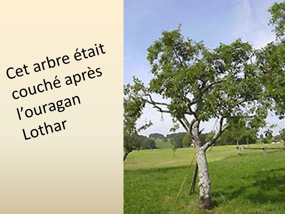 Cet arbre était couché après louragan Lothar