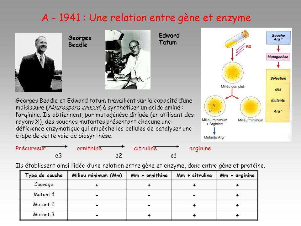 A - 1941 : Une relation entre gène et enzyme Précurseur ornithine citruline arginine e3 e2 e1 Ils établissent ainsi lidée dune relation entre gène et enzyme, donc entre gène et protéine.