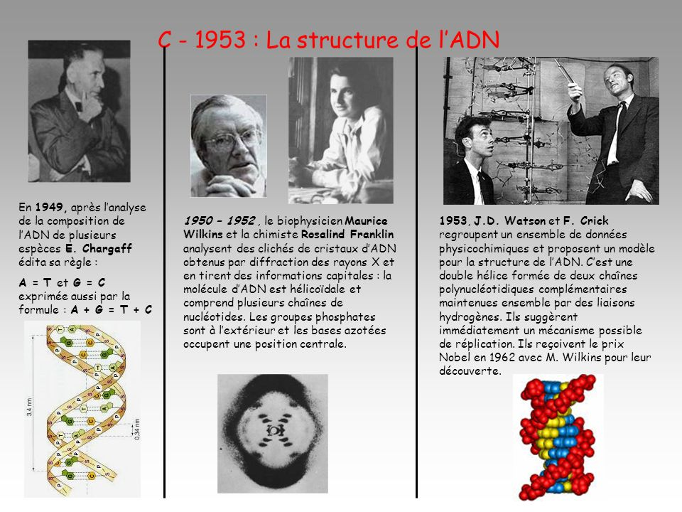 C - 1953 : La structure de lADN En 1949, après lanalyse de la composition de lADN de plusieurs espèces E. Chargaff édita sa règle : A = T et G = C exp