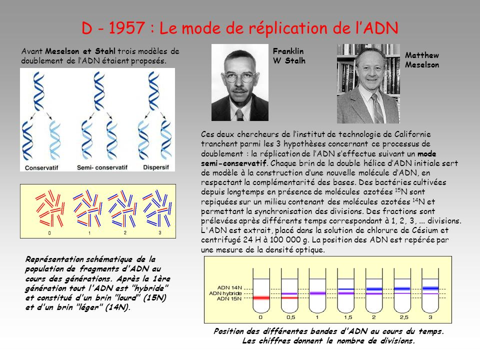 D - 1957 : Le mode de réplication de lADN Franklin W Stalh Avant Meselson et Stahl trois modèles de doublement de lADN étaient proposés. Ces deux cher