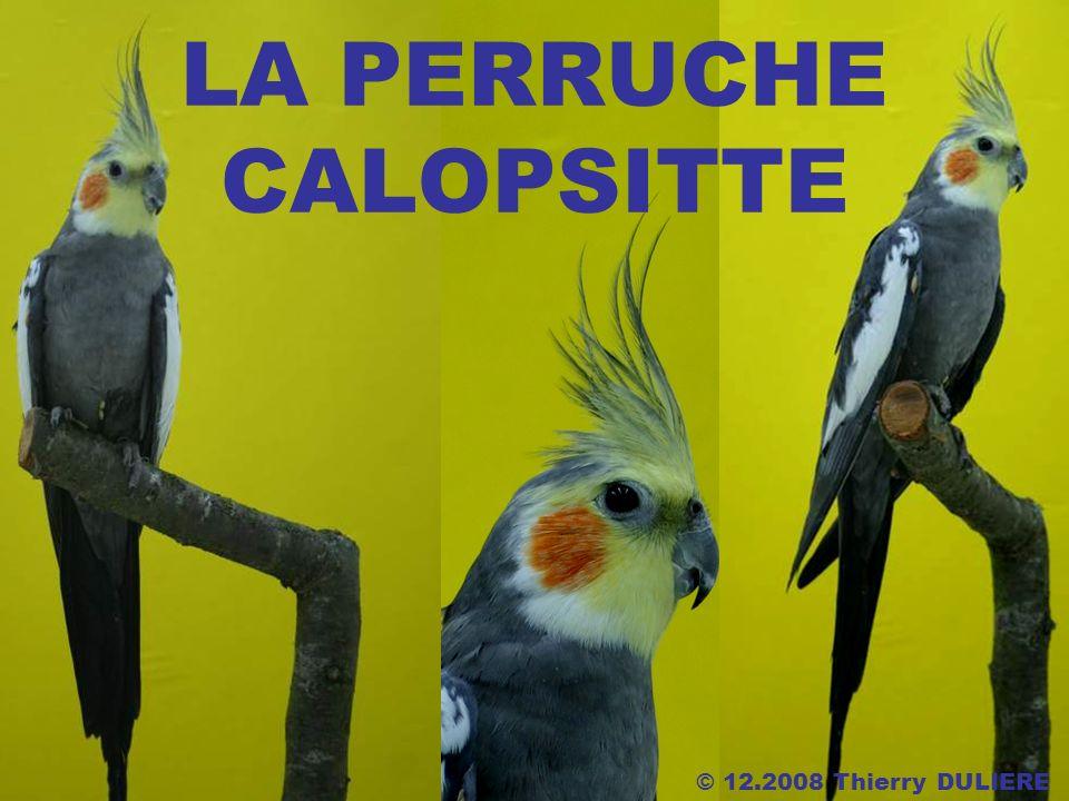 LA PERRUCHE CALOPSITTE © 12.2008 Thierry DULIERE