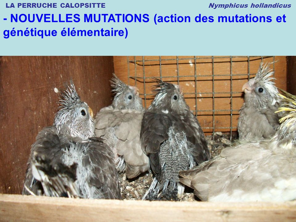 LA PERRUCHE CALOPSITTE Nymphicus hollandicus © 12.2008 Thierry DULIERE - NOUVELLES MUTATIONS (action des mutations et génétique élémentaire)