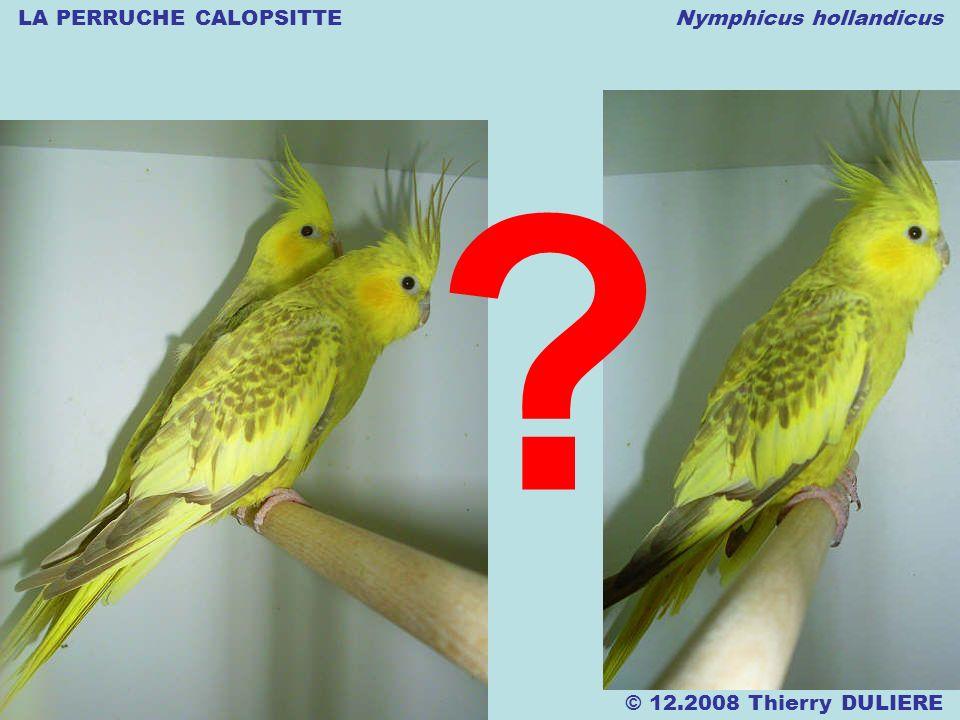 LA PERRUCHE CALOPSITTE Nymphicus hollandicus © 12.2008 Thierry DULIERE ?