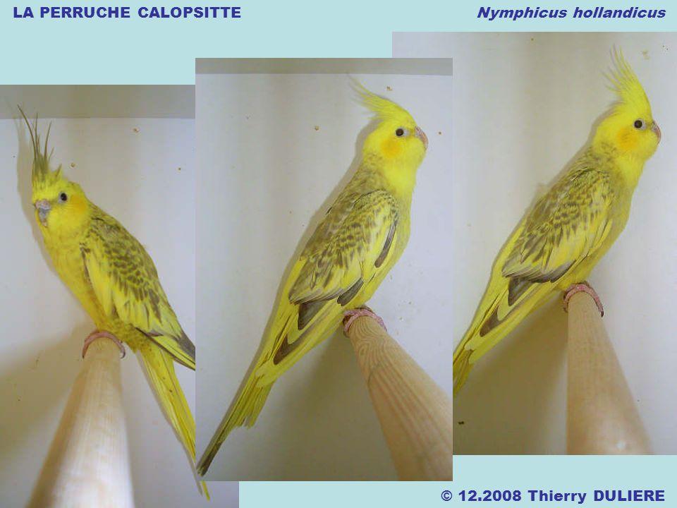 LA PERRUCHE CALOPSITTE Nymphicus hollandicus © 12.2008 Thierry DULIERE