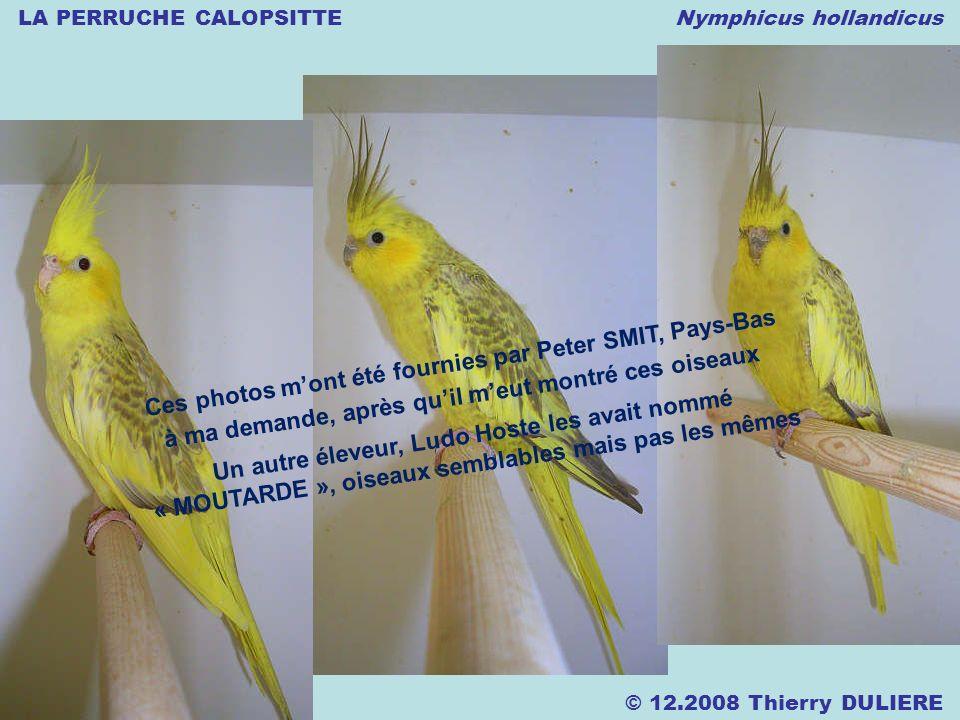 LA PERRUCHE CALOPSITTE Nymphicus hollandicus © 12.2008 Thierry DULIERE Ces photos mont été fournies par Peter SMIT, Pays-Bas à ma demande, après quil