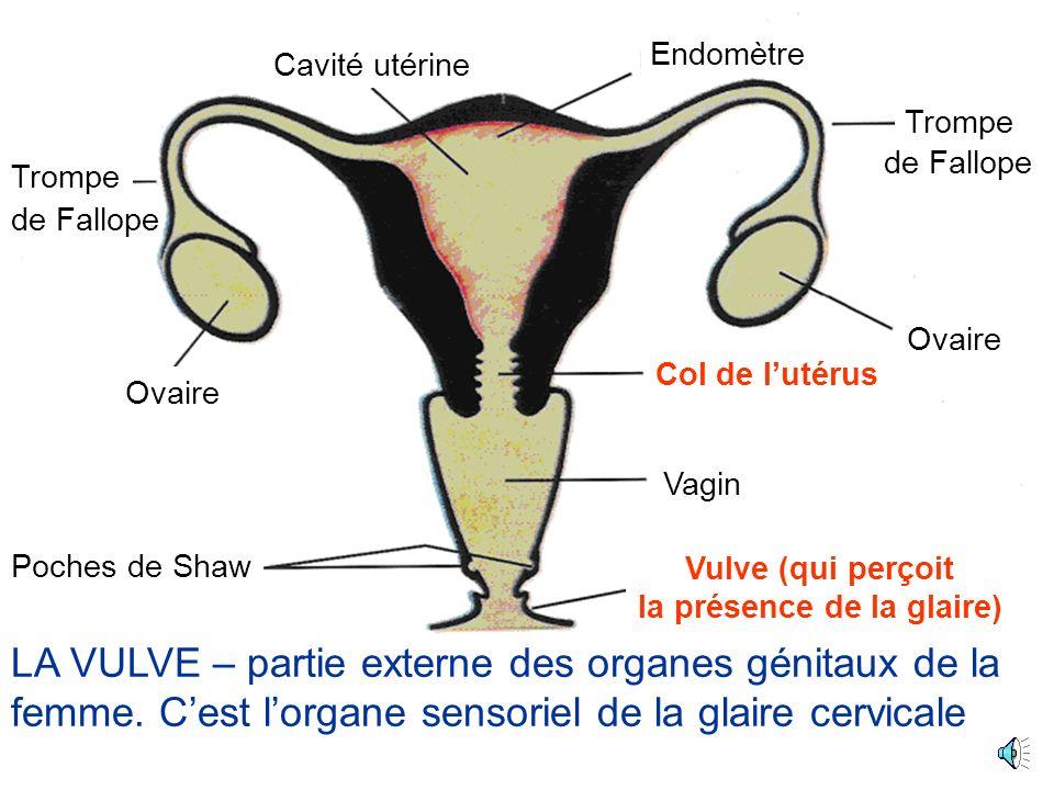 Ovaire Cavité utérine Poches de Shaw Trompe Col de lutérus (Cervix) Vagin Vulve (qui perçoit la présence de la glaire) Endomètre de Fallope LE COL DE LUTÉRUS – ou cervix - porte les cryptes qui produisent la glaire (mucus)