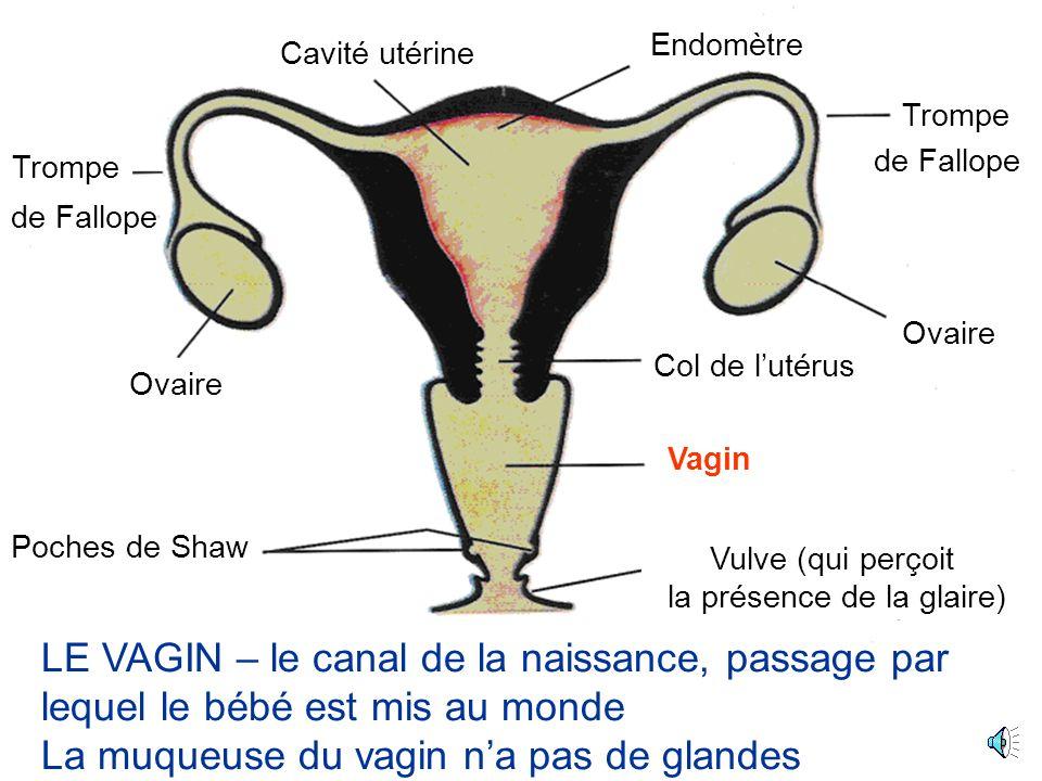 Ovaire Cavité utérine Poches de Shaw Trompe Col de lutérus Vagin Vulve (qui perçoit la présence de la glaire) Endomètre de Fallope LA VULVE – partie externe des organes génitaux de la femme.