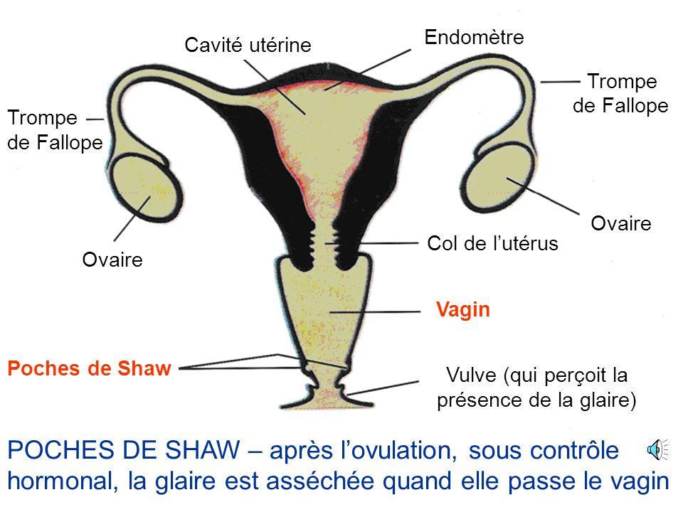 Ovaire Cavité utérine Poches de Shaw Trompe Col de lutérus Vagin Vulve (qui perçoit la présence de la glaire) Endomètre de Fallope LE VAGIN – le canal de la naissance, passage par lequel le bébé est mis au monde La muqueuse du vagin na pas de glandes
