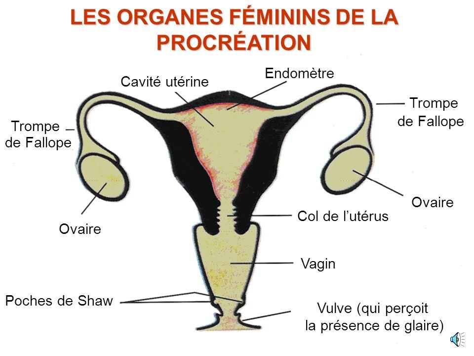 Les ovaires sont actifs et produisent des oestrogènes œstrogène Le bouchon quitte le col de lutérus La vulve n est plus sèche Le col de lutérus est stimulé – une glaire fluide est produite qui libère le bouchon, dès lors les spermatozoïdes peuvent entrer par le col