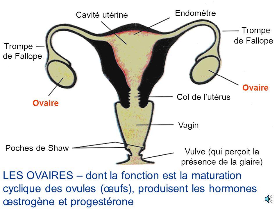 Ovaire Cavité utérine Poches de Shaw Trompe Col de lutérus Vagin Vulve (qui perçoit la présence de la glaire) Endomètre de Fallope LES OVAIRES – dont la fonction est la maturation cyclique des ovules (œufs), produisent les hormones œstrogène et progestérone