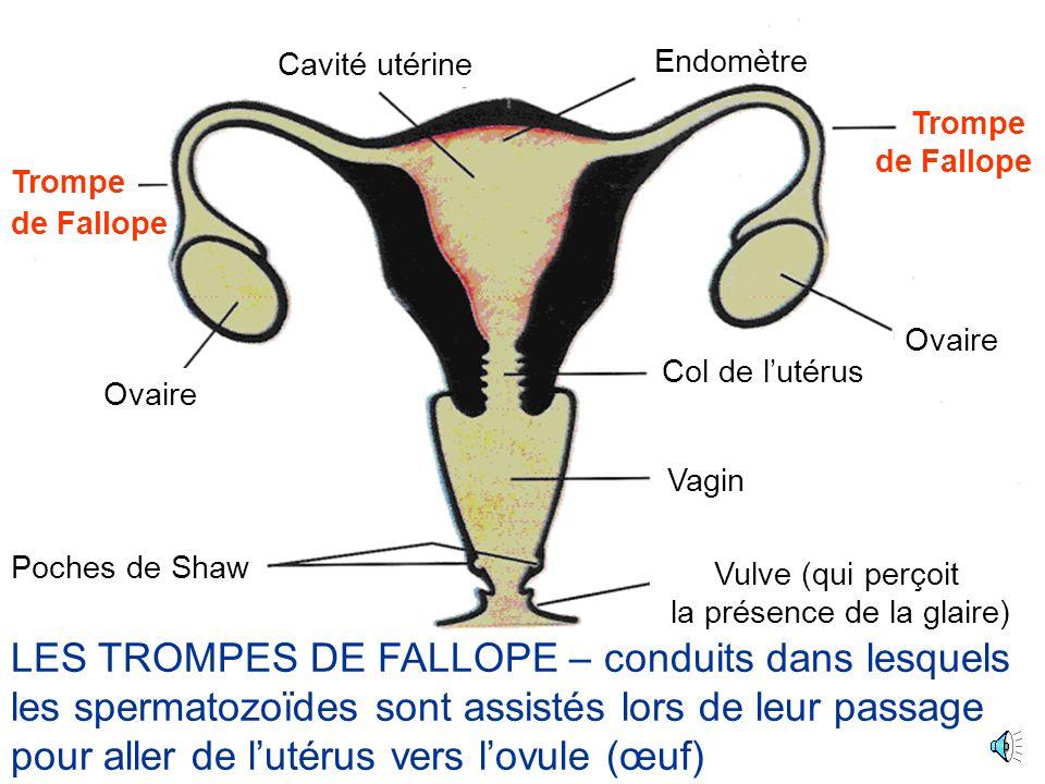 Ovaire Cavité utérine Poches de Shaw Trompe Col de lutérus Vagin Vulve (qui perçoit la présence de la glaire) Endomètre de Fallope LES TROMPES DE FALLOPE – conduits dans lesquels les spermatozoïdes sont assistés lors de leur passage pour aller de lutérus vers lovule (œuf)