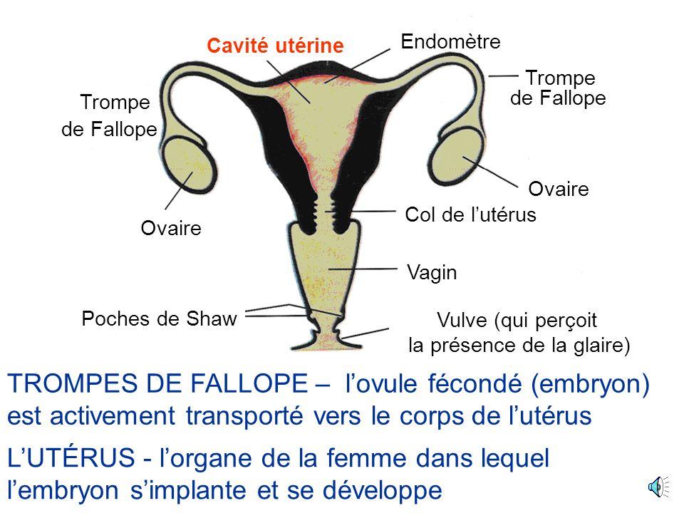TROMPES DE FALLOPE – lovule fécondé (embryon) est activement transporté vers le corps de lutérus Ovaire Cavité utérine Poches de Shaw Trompe Col de lutérus Vagin Endomètre de Fallope Vulve (qui perçoit la présence de la glaire) Ovaire LUTÉRUS - lorgane de la femme dans lequel lembryon simplante et se développe