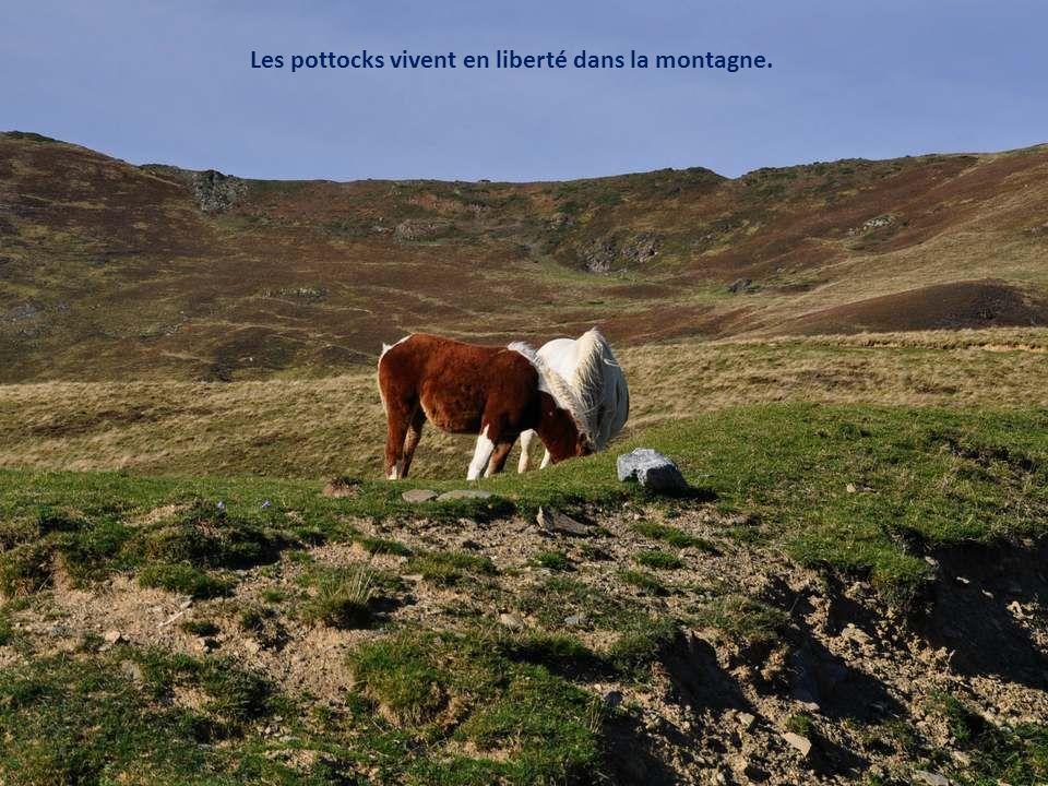 Les pottoks seraient issus des petits chevaux qui peuplaient le sud-ouest de l'Europe, il y a environ un million d'années. Ils auraient aussi des lien