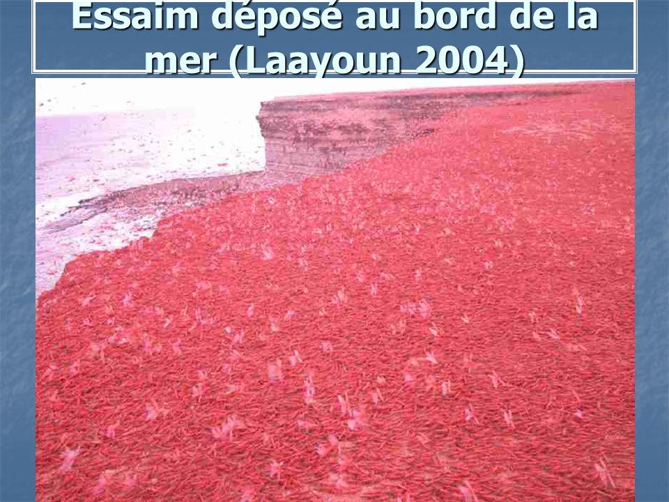 Essaim déposé au bord de la mer (Laayoun 2004)