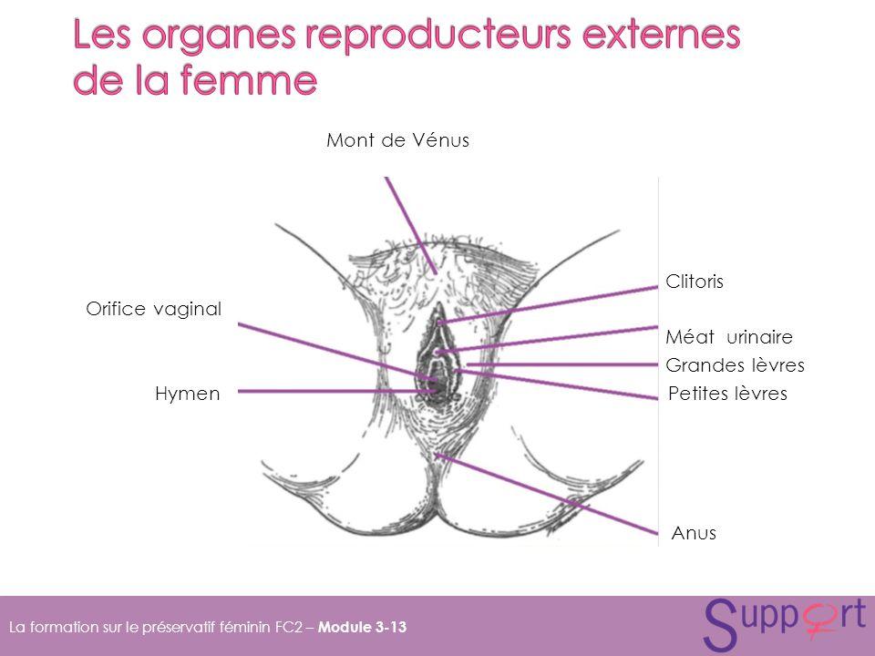 La formation sur le préservatif féminin FC2 – Module 3-13 Mont de Vénus Clitoris Orifice vaginal Méat urinaire Grandes lèvres Hymen Petites lèvres Anus