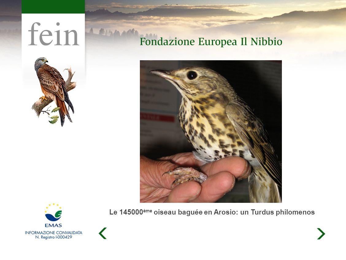 Le 145000 ème oiseau baguée en Arosio: un Turdus philomenos