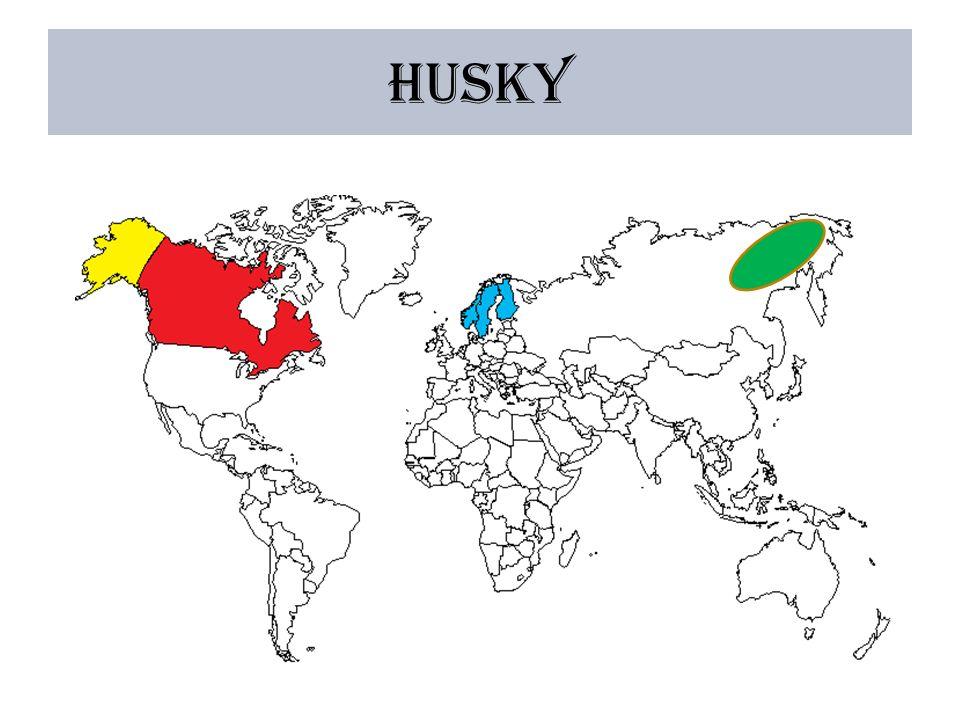 Caractère Le husky vit en meute comme les loups.
