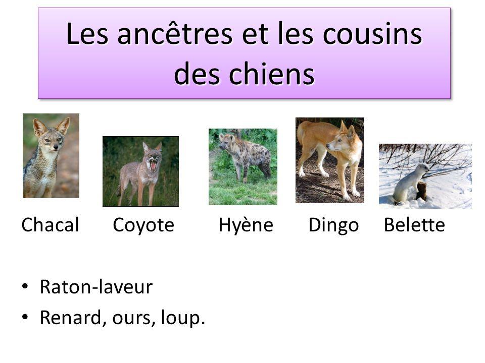 Les ancêtres et cousins Lancêtre le plus lointain date de 35 millions dannées.