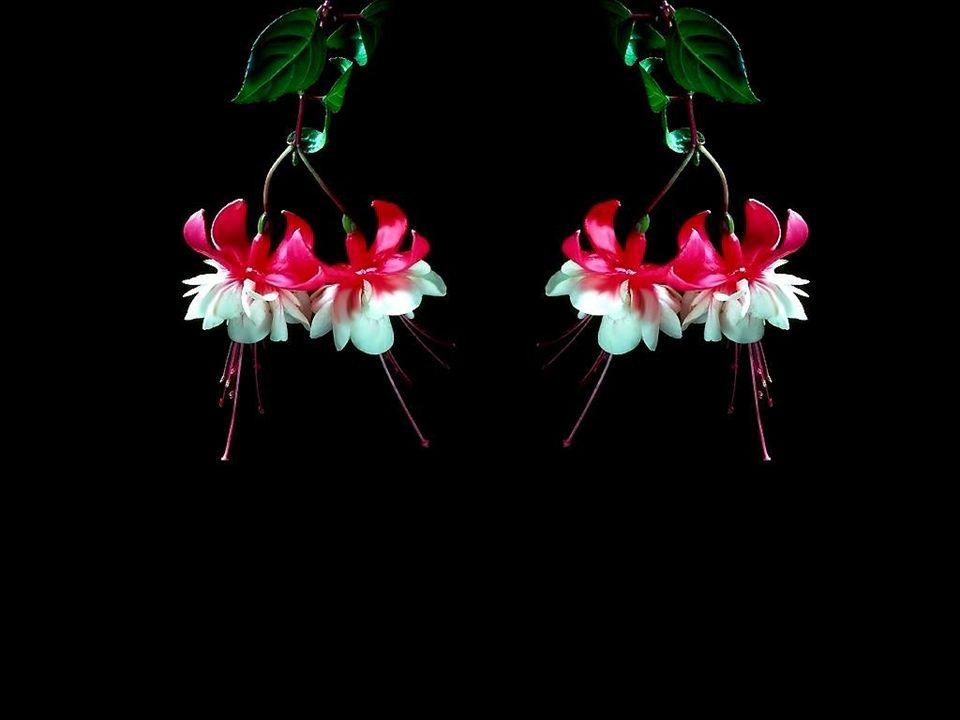 L'élégance, la légèreté, la «féminité» et la grâce du fuchsia font que de nombreux collectionneurs sont envoûtés par le charme de ces petites danseuse