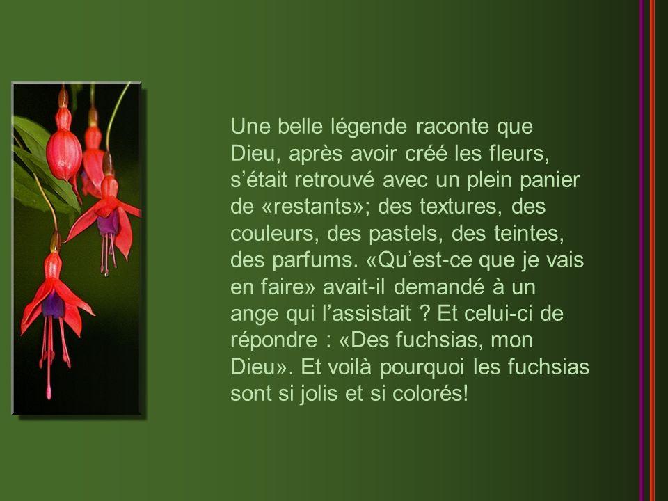 Alliant un charme exotique à beaucoup d élégance, le fuchsia est ornemental par son frais feuillage, par ses rameaux fins et gracieusement inclinés, et surtout par ses fleurs originales aux couleurs vives ou somptueuses.